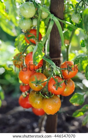 Branch of organic tomatoes growing in a greenhouse on a farm