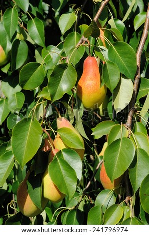 branch of pear tree with red side fruits - stock photo