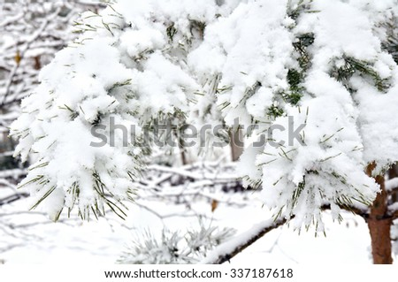Branch of pine covered in snow - stock photo