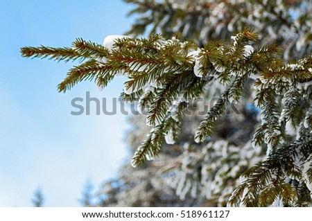 Branch of pine in the snowy forest