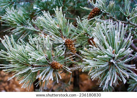 branch of pine tree with cone in winter - stock photo