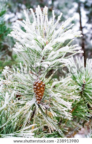 branch of pine tree with cone, winter - stock photo