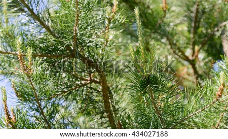 Branch of Pine Tree with needles and Pine Cone. - stock photo