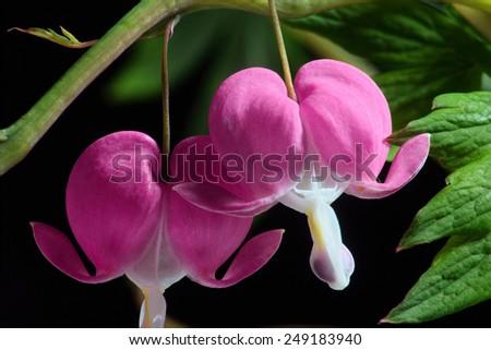 Branch of Pink Bleeding Heart Flowers - stock photo