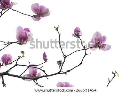 Branch of  pink magnolia flowers isolated on the white - stock photo