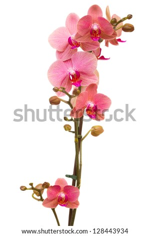 branch of pink  orchid  isolated on white background - stock photo