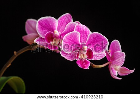 branch of pink orchids on a black background - stock photo
