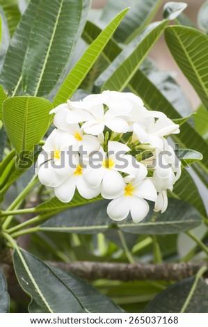 branch of plumeria flower (frangipani) in tropical garden - stock photo
