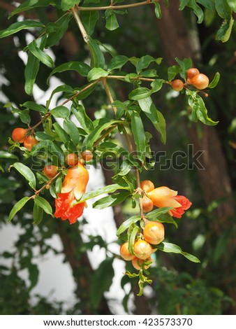 branch of pomegranate tree flower with leaves hanging on tree nature background ( punica granatum)