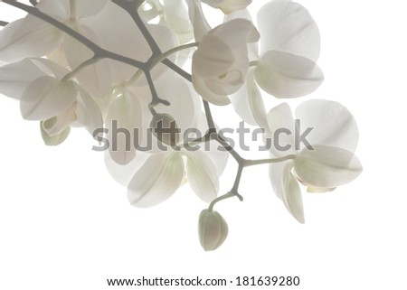 Branch of pure white orchid on white background - stock photo