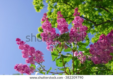 Branch of purple lilac flowers with green leaves on blue sky background - stock photo