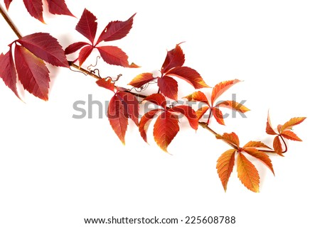 Branch of red autumn grapes leaves. Parthenocissus quinquefolia foliage. Isolated on white background. - stock photo