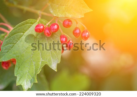 Branch of red berries viburnum on a background of the sun. natural composition - stock photo