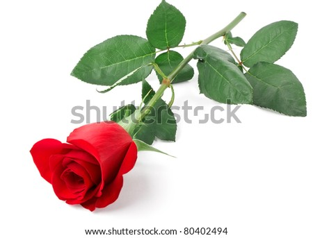 Branch of red rose isolated on white background - stock photo