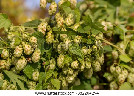 Branch of ripe hop cones fall. Ripe hop cones are ready to harvest. Beer hops - an ingredient for the production of expensive beer and kvass classic varieties - stock photo