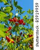 branch of ripe rose hip berries in autumn garden - stock photo