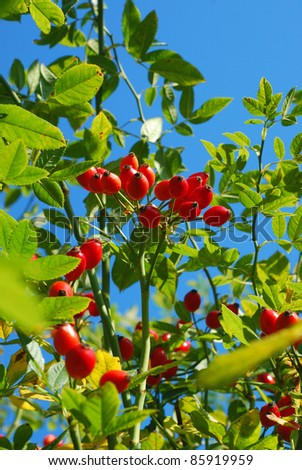 branch of ripe rose hip berries in autumn garden - stock photo