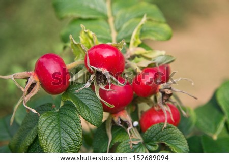 Branch of rose hips - stock photo