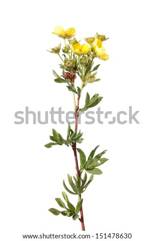 Branch of Shrubby cinquefoil isolated on white - stock photo