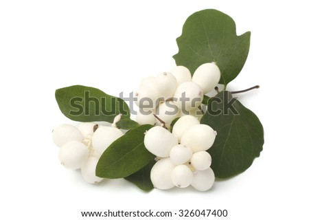 Branch of Snowberry with green leaves on white background - stock photo