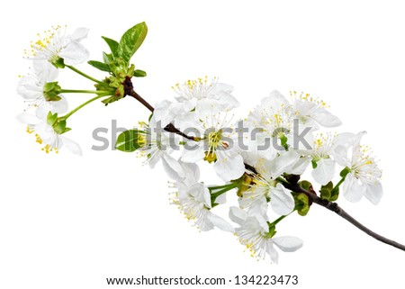 Branch of sprig with blossoms. Isolated on white background