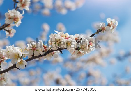 Branch of spring almond. White tree. Nature composition. - stock photo