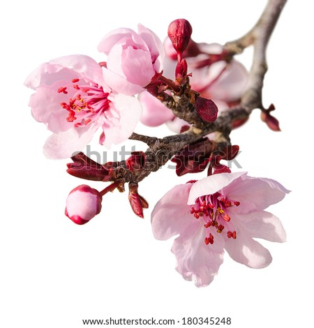Branch of spring plum blossom with pink flowers and buds isolated on white - stock photo