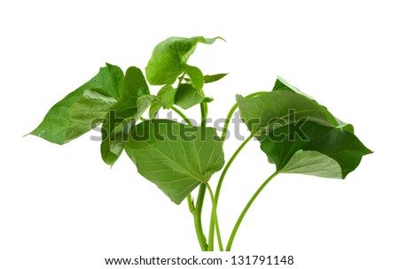 sweet potato leaves branch of sweet potato leaves belacan yam leaves ...