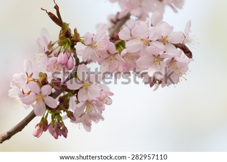 Branch of the blossoming Oriental cherry sakura with gentle pink flowers - stock photo