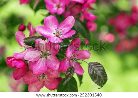 branch of the cherry blossoms in garden in Kolomenskoye, Moscow - stock photo