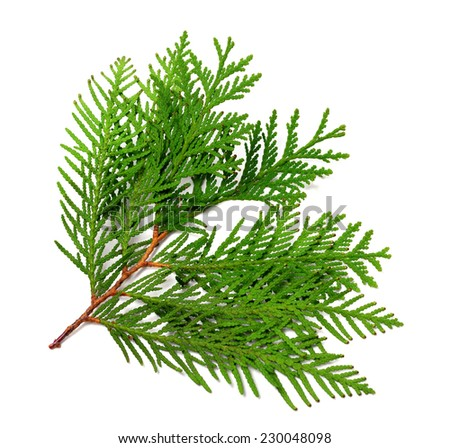 Branch of thuja isolated on white background - stock photo