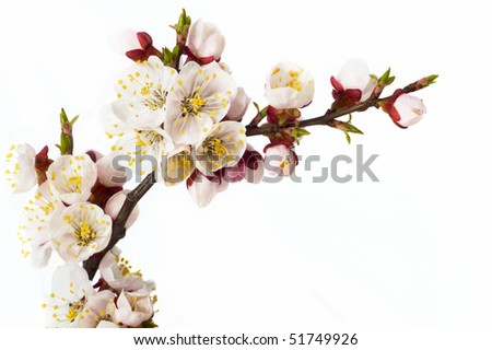 branch of  tree blossoming by pink colours is isolated on white background - stock photo
