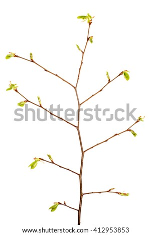 Branch of tree with buds isolated on white background