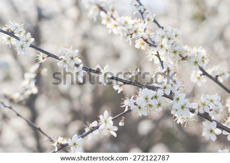 Branch of tree with white flowers in spring. Natural  background