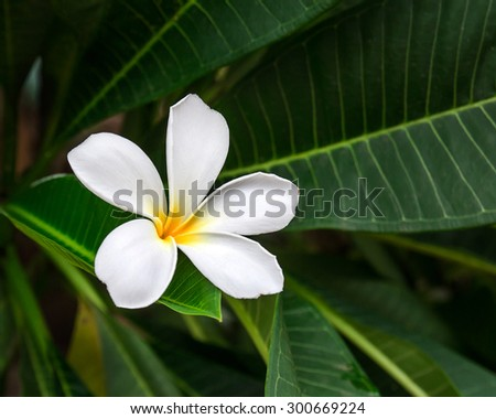 Branch of tropical flower frangipani (plumeria) on dark green leaves background - stock photo