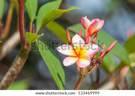 Branch of tropical flowers frangipani (plumeria), Thailand.
