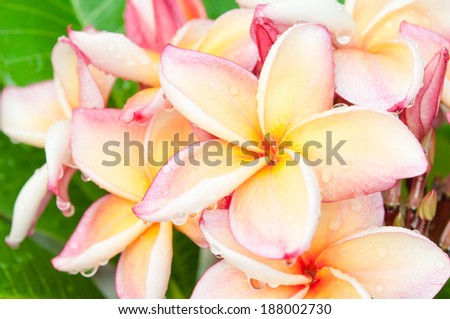Branch of tropical flowers frangipani (plumeria) with drops of waterB - stock photo