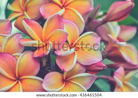 Branch of tropical flowers frangipani (Vintage filter effect used) - stock photo