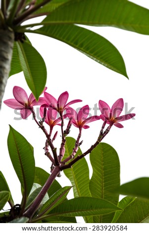 Branch of tropical pink flowers frangipani (plumeria) - stock photo