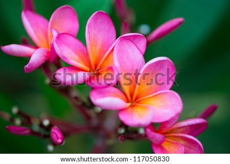 Branch of tropical pink flowers frangipani (plumeria) on dark green leaves background