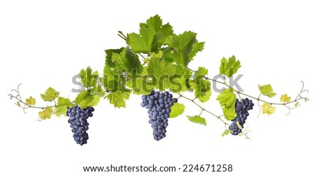 Branch of vine leaves and blue grapes isolated on white background  - stock photo