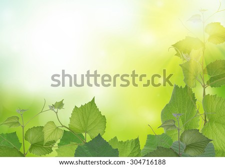 Branch of vine leaves with natural light and background. - stock photo