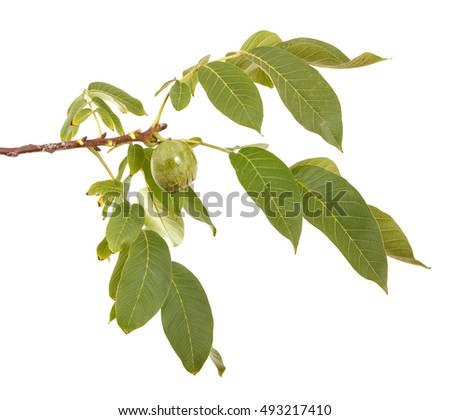 branch of walnut isolated on white background
