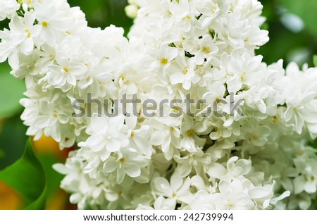 Branch of white lilac flowers with the leaves - stock photo