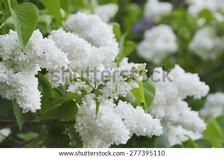 Branch of white lilac flowers with the leaves, natural spring background - stock photo