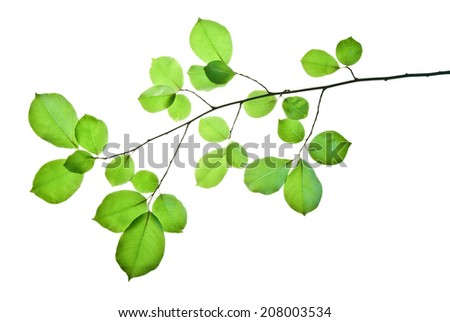 Branch of wild cherry tree with green leaves isolated on white  - stock photo