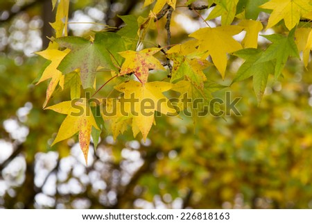 Branch of yellow and green autumn fall maple tree leaves