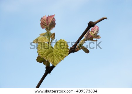 branch of young grapes against the blue sky - stock photo