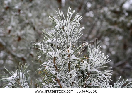Branch spruce covered in white crystals and snow