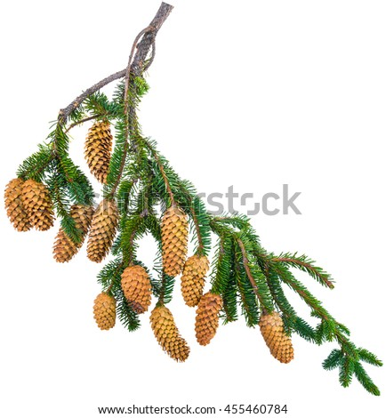 branch spurse tree with cones isolated on white background - stock photo